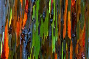 hawaiian treescapes rainbow eucalyptus christopher martin photography