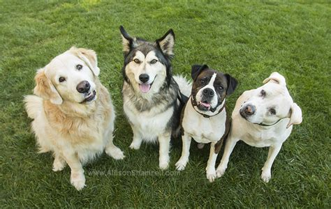 four dogs four dogs in one photo session san diego ca san diego pet photographer allison