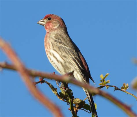 picture of house finch house finch bird