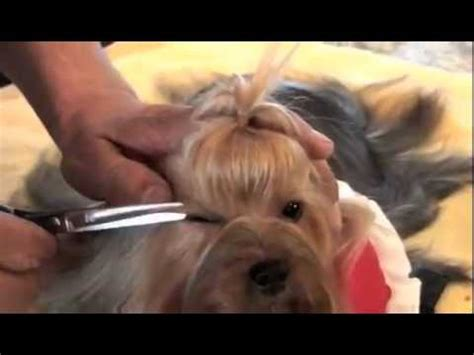 yorkie show westminster show 2014 terrier musica movil musicamoviles