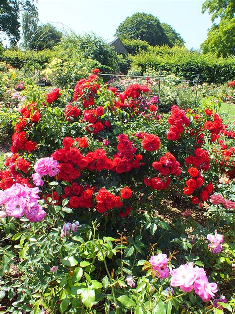 rose gardening rhs wisley a rose garden a walk in the woods another