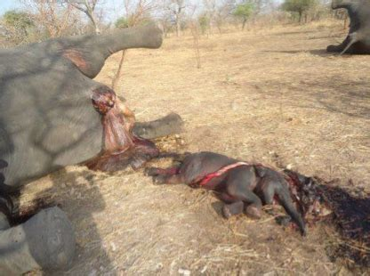 aborted puppies aborted elephant calf and mothers green news update
