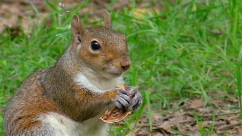 squirrel eating bread stock footage video 1162234
