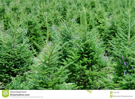 christmas tree farm royalty free stock images image 1017799