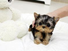 teacup yorkie puppies for sale in pittsburgh the world s catalog of ideas