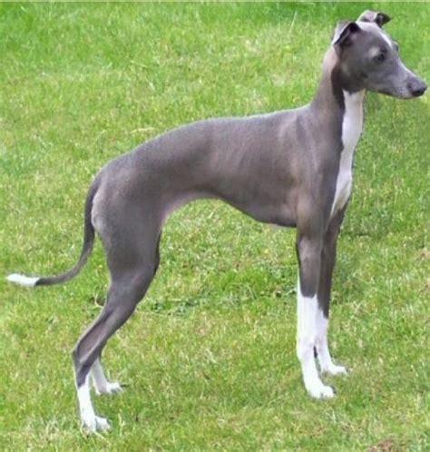 razas de perros peque 241 os de pelo corto aperrados