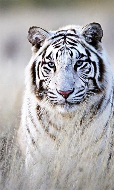 hd wallpaper for android tiger white tiger wallpaper android apps on google play