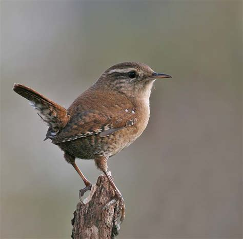 british wren google search feathers pinterest wren