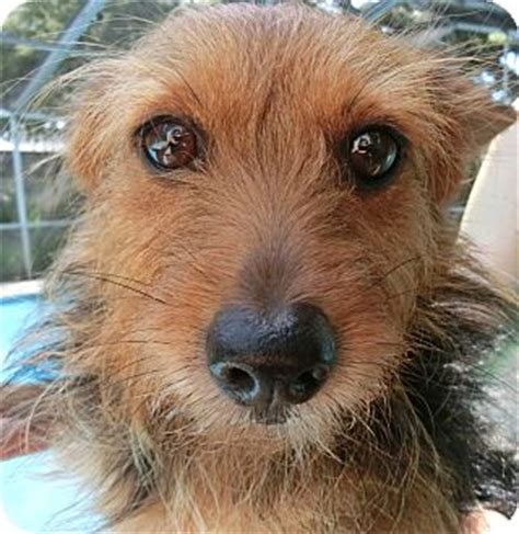 rat terrier yorkie mix drew adopted st petersburg fl yorkie terrier rat terrier mix