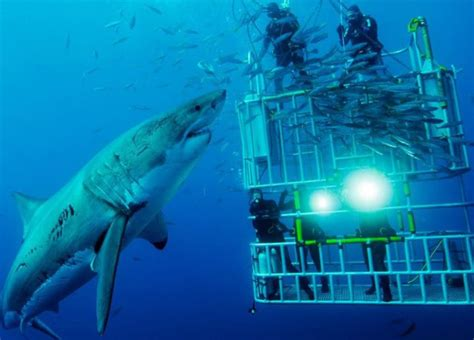 cage dive with sharks mossel bay shark cage diving mossel bay shark zone