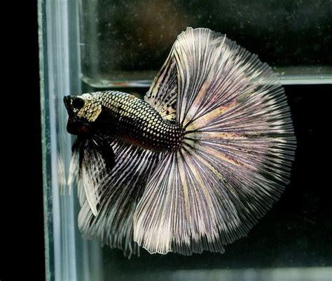 king bett king cobra betta fish king cobra cgi and