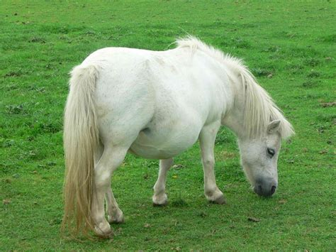 Miniatur Kuda Poni By Nicebags foto gratis poni enana blanco animal pack imagen