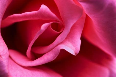 google images rose close up images of roses google search roses gt a close