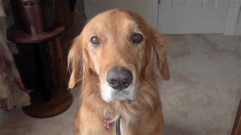 golden retriever puppies adoption nc neuse river golden retriever rescue and adoption spyhop productions