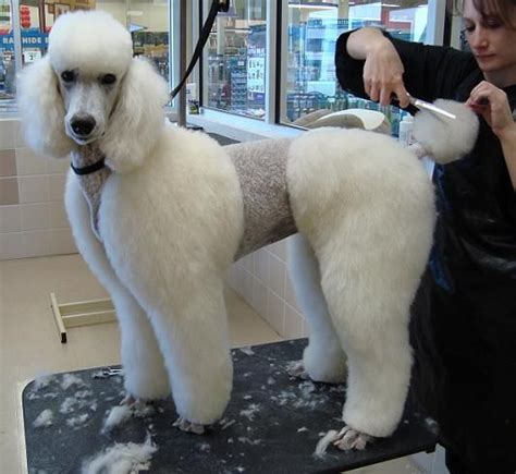 grooming standard poodles cuts 43 best french poodle images on pinterest