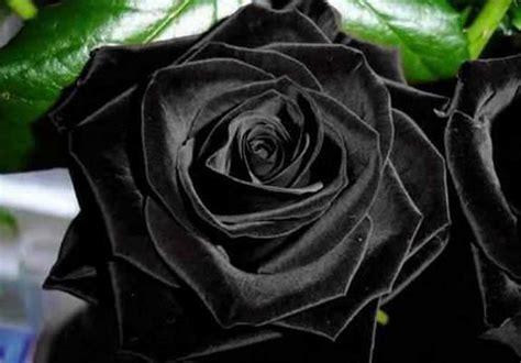 imagenes de rosas negras hermosas rosas negras naturales 161 impactantemente hermosas y hechas