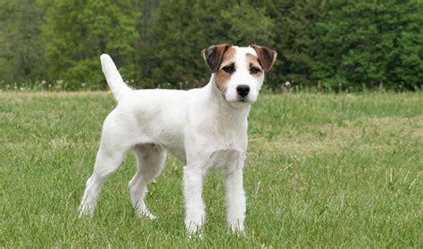 russel terrier puppy terrier photos doglers