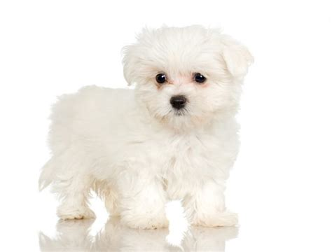white maltipoo puppies what are the behaviors of the maltipoo puppies care the daily puppy