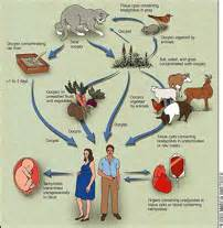 la toxoplasmose zoonose sant 233