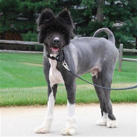 newfoundland dog summer haircuts http pets webmd com features shaving dog or cat during