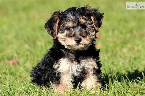 yorkie poo puppies price yorkiepoo yorkie poo puppy for sale near lancaster pennsylvania 3873e6a4 ea21
