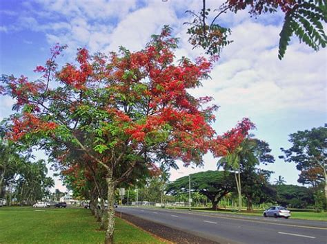 Shower Tree Hawaii by Photo Gallery The Rainbow Shower Trees Of Hilo On The Big