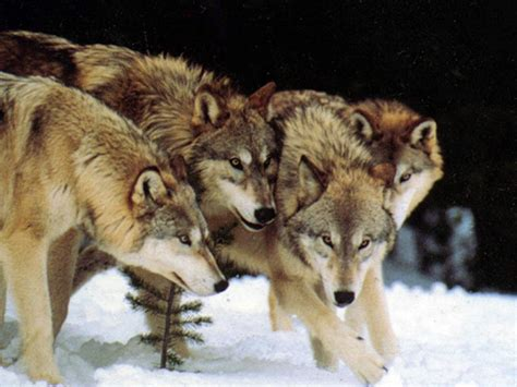 the the wolf wolf pack howling for justice