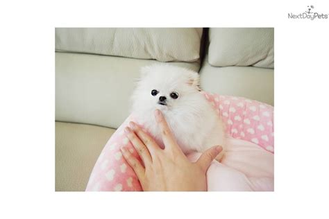 teacup pomeranian for sale vancouver micro teacup whte pom pomeranian puppy for sale near vancouver