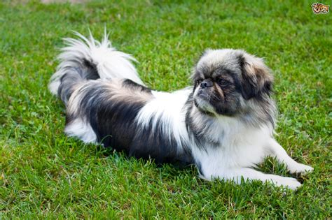 pekingese puppies for adoption pekingese breed information buying advice photos and facts pets4homes