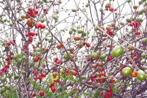 imagenes ciruelas rojas frutas que pueden encontrar en yucatan recetas y cocina