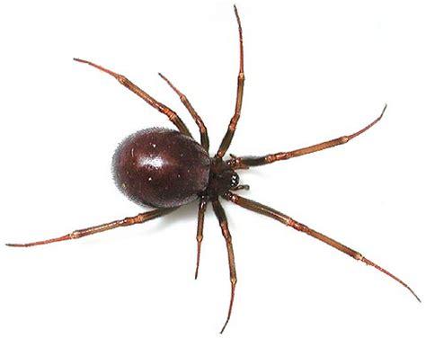 brown house spider victorian spiders spider identification in victoria australia spiders in victoria