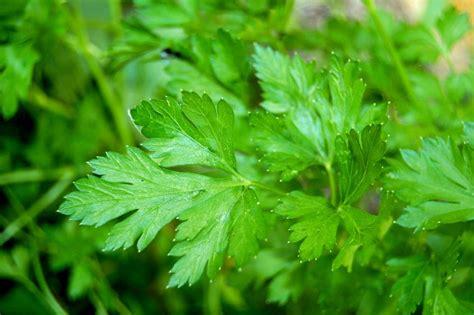 Plant De Persil by Persil Semis Culture Et R 233 Colte Au Potager