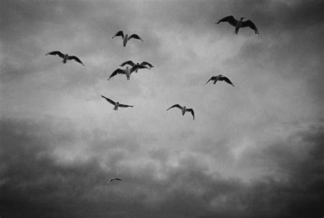 black and white wallpaper with birds black and white images of birds 24 high resolution