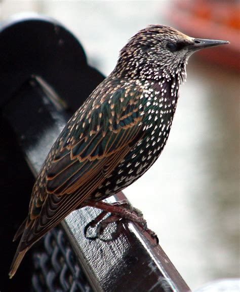 common starling redorbit