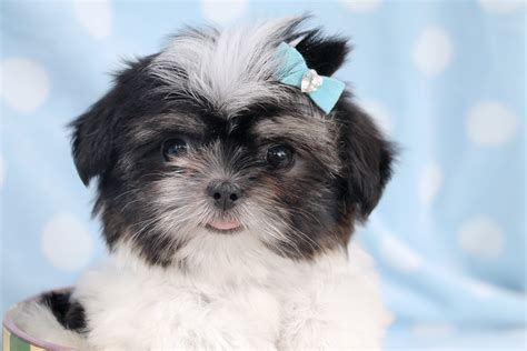 shih tzu puppies for sale in idaho shih tzu puppies for sale teacups puppies boutique