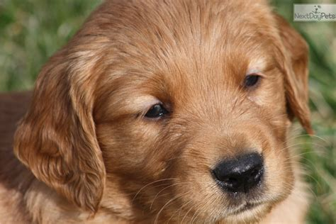 golden retriever puppies louisville ky rue golden retriever puppy for sale near louisville kentucky e5c1f53c f951