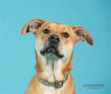 puppy rescue st louis adopt a st louis rescue gateway pet guardians