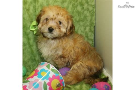 havanese for sale in missouri 19 best images about dogs cats for me on canada cats and san diego