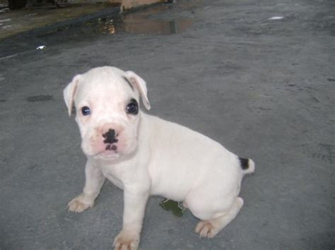 boxer puppies information boxer puppies pictures and information puppies breed information image pictures