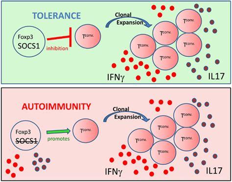 frontiers regulation of interferon gamma frontiers regulation of interferon gamma signaling by