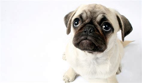pug care information pug breed information