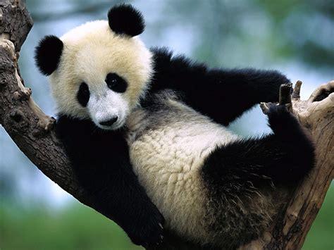 one panda panda
