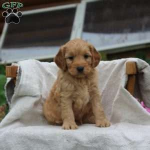 goldendoodle puppies dallas miniature goldendoodle puppies for sale in pennsylvania