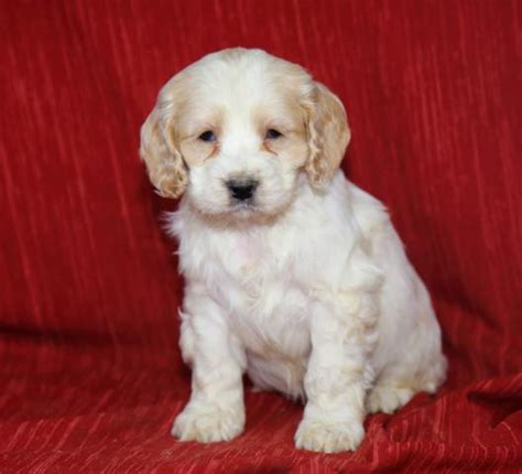 free puppies harrisburg pa free puppies in pa puppies for free in pa autos post