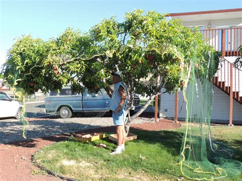 fruit trees backyard backyard bonzai fruit trees yakima county washington