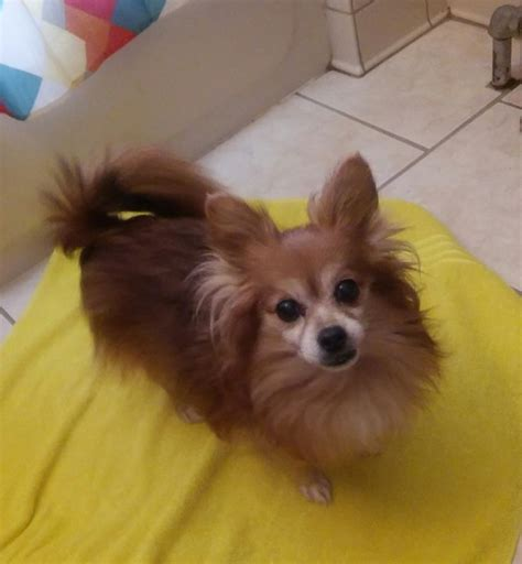 found dogs near me 1165 best images about lost dogs ct on chihuahuas hair medium and lost