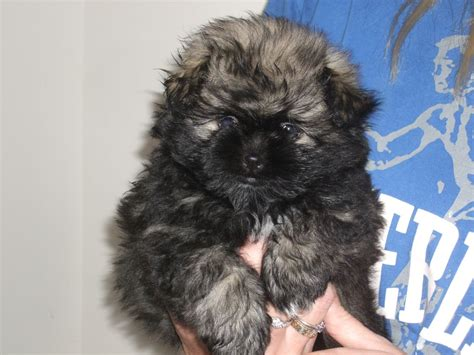 pomeranian shih tzu puppies for sale shiranian shih tzu x pomeranian nottingham nottinghamshire pets4homes