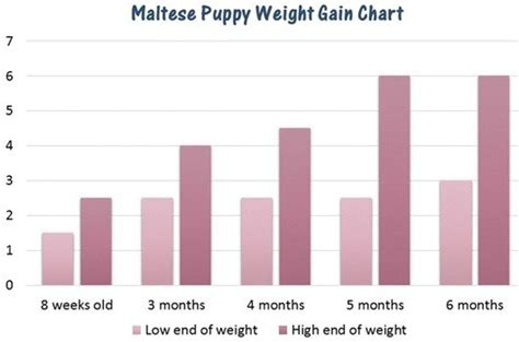 puppy not gaining weight maltese weight chart issues information
