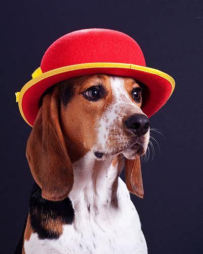 dogs wearing hats dogs wearing hats