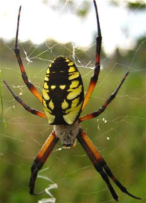 eye   spider centralmainecom